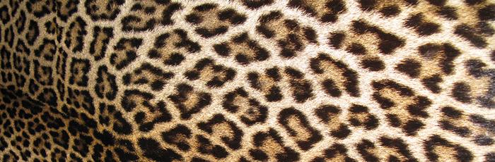 Geschützte Tierart Leopard