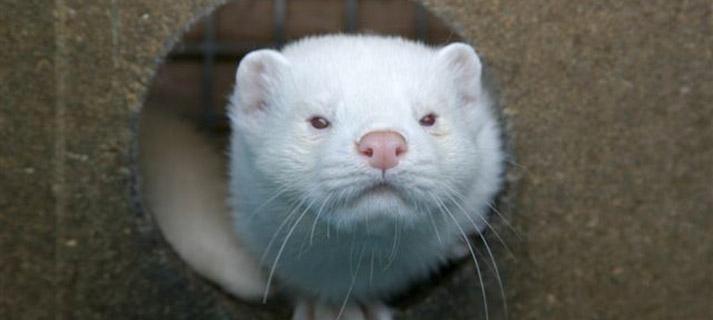 Neugieriger weißer Mutationsnerz | Foto: Kopenhagen Fur